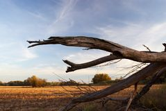 Arid trunk. (field, blue sky stock images