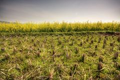 Aridity rape, rice field Royalty Free Stock Images
