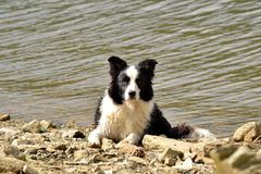Border collie on lake. A border collie named Ariel resting on the shore after a swim in the lake royalty free stock photos