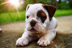 Ariel-cachorra Bulldogge Inglés-preciosa Lizenzfreies Stockfoto