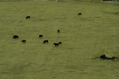 Ariel view of rich farmland. Cows grazing in a fresh green field at a Ariel view Royalty Free Stock Photography