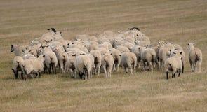 aries μακριά πρόβατα ovus κινήσεων &kappa Στοκ εικόνα με δικαίωμα ελεύθερης χρήσης
