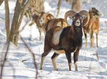 Aries барана стоковые фото