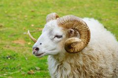 Aries Royalty Free Stock Photo