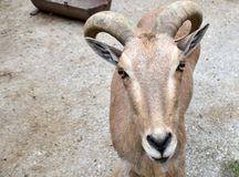 Aries. With beutiful horns and ears looking great royalty free stock photos