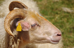 Aries dentro de la multitud de las ovejas Fotos de archivo libres de regalías