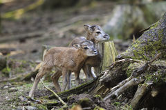 aries mouflon ovis Στοκ εικόνα με δικαίωμα ελεύθερης χρήσης