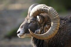 aries mouflon ovis Στοκ φωτογραφίες με δικαίωμα ελεύθερης χρήσης