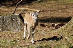 aries mouflon ovis Στοκ φωτογραφία με δικαίωμα ελεύθερης χρήσης