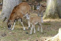 aries mouflon ovis Στοκ Φωτογραφία