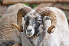 Aries (Ovis aries) Στοκ φωτογραφία με δικαίωμα ελεύθερης χρήσης