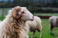 Aries profilowy widok Fotografia Stock
