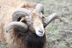 Aries. The sheep Ovis are a mammalian genus from the goat-like group Caprini Stock Photo