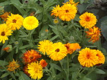 Мarigold  Stock Image
