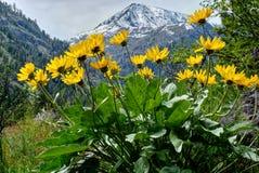 Arinca en prados alpinos Imagenes de archivo
