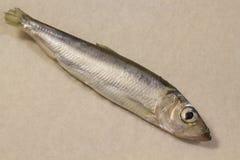 Aringa del pesce Fotografie Stock