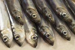 Aringa del pesce di mare presentata in primo piano di due file Immagini Stock Libere da Diritti