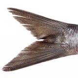 Aringhe dei pesci della coda Immagine Stock