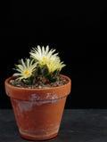 Ariocarpus Στοκ εικόνα με δικαίωμα ελεύθερης χρήσης