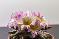 Ariocarpus Στοκ φωτογραφία με δικαίωμα ελεύθερης χρήσης