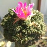 Ariocarpus Imagen de archivo libre de regalías