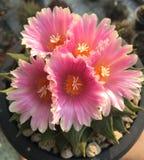 Ariocarpus hybrydów kwiat Zdjęcia Royalty Free