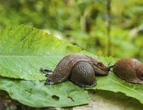 Arion ater - type of slugs Royalty Free Stock Photography