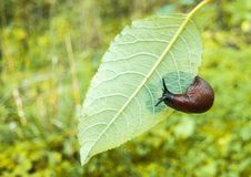 Arion ater - type of slugs Royalty Free Stock Image