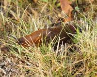 Arion lusitanicus在草爬行 库存照片
