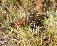 Arion lusitanicus crawls in grass Stock Photo