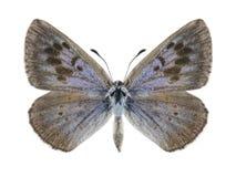 Arion Phengaris πεταλούδων Στοκ φωτογραφίες με δικαίωμα ελεύθερης χρήσης
