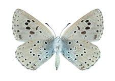 Arion Phengaris πεταλούδων (underside) Στοκ φωτογραφία με δικαίωμα ελεύθερης χρήσης