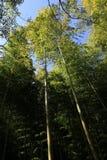 Arishiyama bambusa las Zdjęcia Royalty Free
