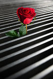Arising red rose Stock Images