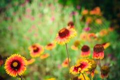 aristata天人菊属植物 免版税图库摄影