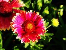 Aristata «ηλιοβασίλεμα Gaillardia Snappy» - κοινό blanketflower Στοκ Φωτογραφίες