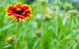 Aristata Gaillardia, γενικό λουλούδι, ανθίζοντας φυτό Στοκ εικόνα με δικαίωμα ελεύθερης χρήσης