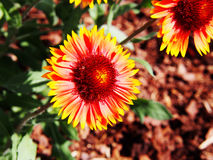 Aristata Gaillardia - κοινό blanketflower Στοκ εικόνες με δικαίωμα ελεύθερης χρήσης