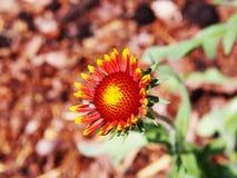 Aristata Gaillardia - κοινό blanketflower Στοκ φωτογραφία με δικαίωμα ελεύθερης χρήσης