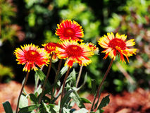 Aristata Gaillardia - κοινό blanketflower Στοκ Εικόνες