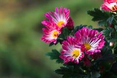 Aristata Purshï ¼ ‰ van wiel chrysanthemumï ˆGaillardia ¼ Royalty-vrije Stock Foto's