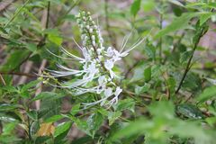Aristatus Orthosiphon είναι ένα είδος εγκαταστάσεων στην οικογένεια Lamiaceae Labiatae Στοκ Φωτογραφία