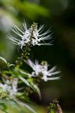 Aristatus Orthosiphon (Blume) τολμηρό Στοκ Εικόνα