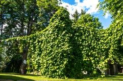 aristolochia Royaltyfri Bild