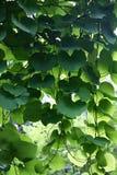 Aristolochia Immagini Stock