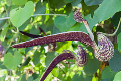 Aristolochia flower Stock Photo