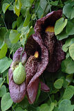 Aristolochia gigantea from brazil pink color Royalty Free Stock Photography