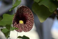 Aristolochia littoralis (elegantes Dutchmans-Rohr) mit Blüte Lizenzfreie Stockfotografie