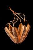 Aristolochia ringens Στοκ Εικόνες