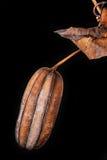 Aristolochia ringens Στοκ φωτογραφία με δικαίωμα ελεύθερης χρήσης